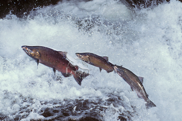 http://griponclimate.files.wordpress.com/2012/11/chinook-salmon-leaping2.jpg